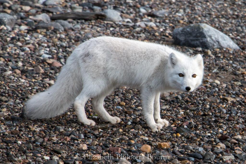 White arctic fox on rocky beach