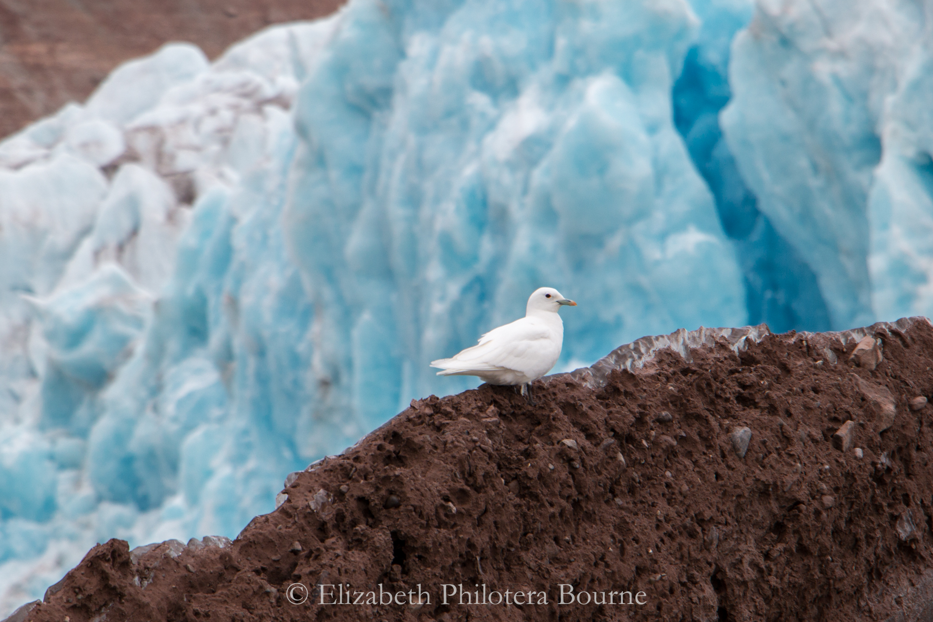 Rare ivory gull perched on rock in front of blue glacier in Svalabard