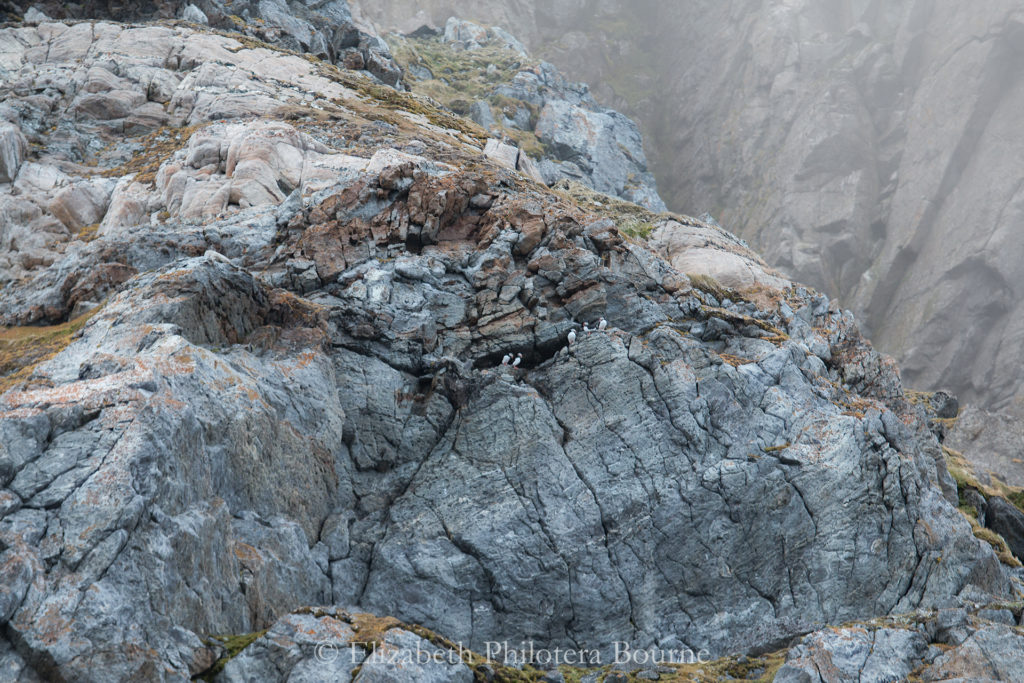 Puffins nesting on rocky cliff in Svalbard