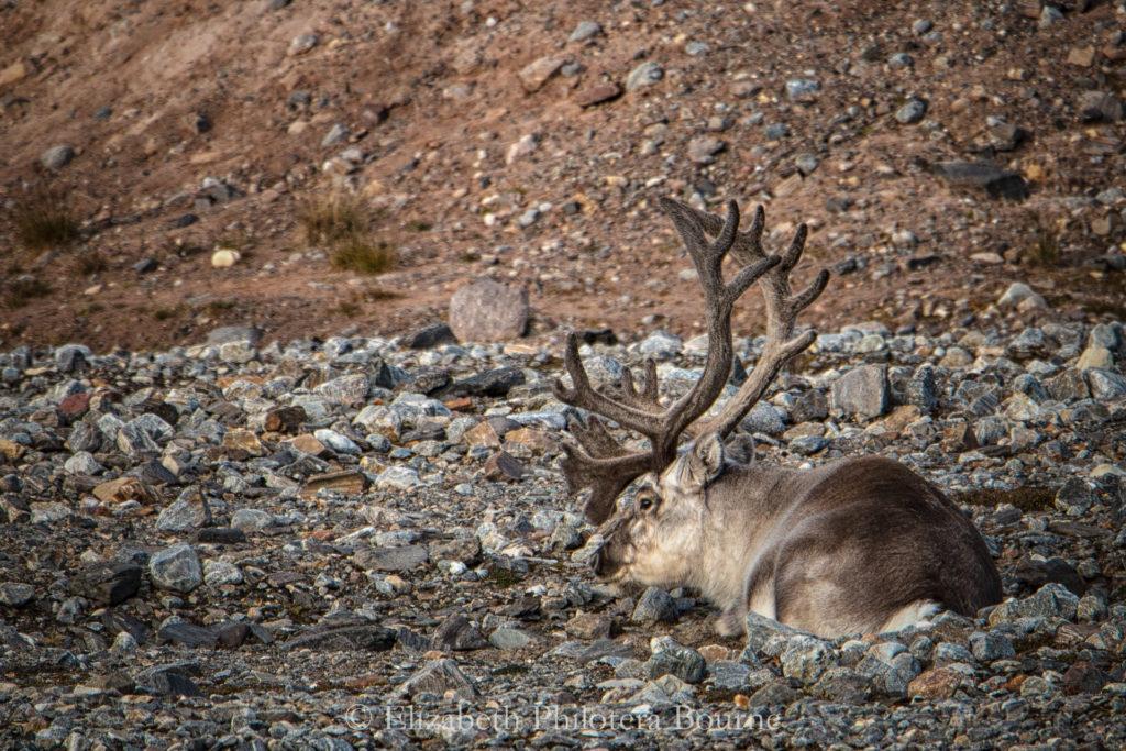 Arctic reindeer lying down on rocky beach in Svalbard