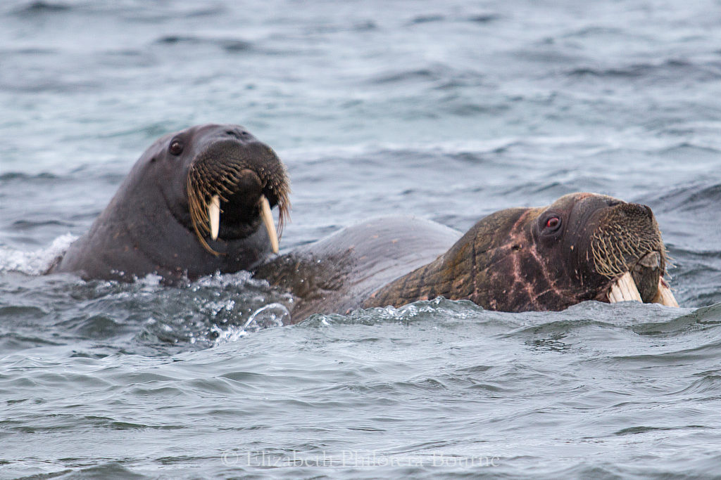 One mature and one young walrus swimming together off shore of Spitzbergen