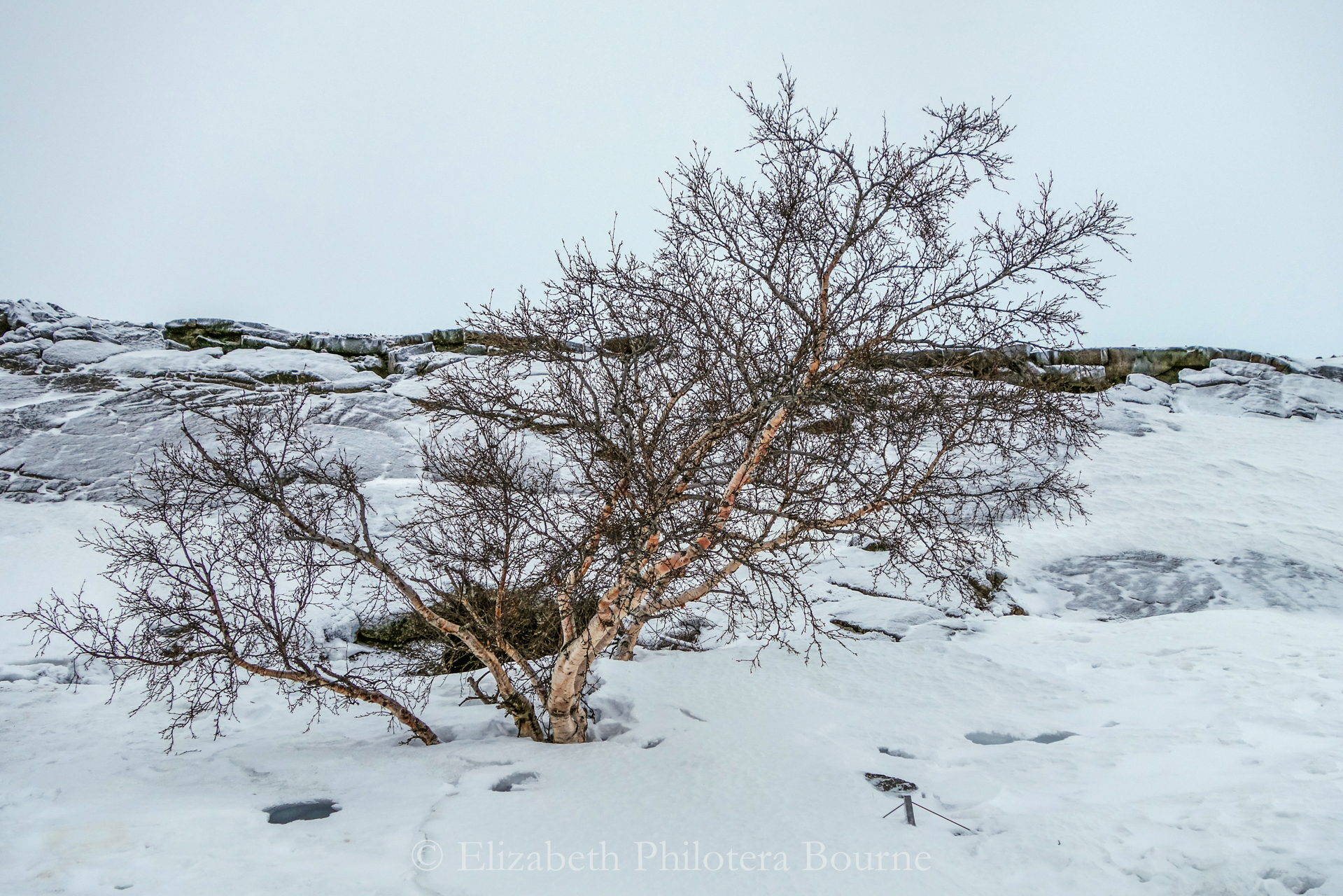 Small birch tree silhuouetted against sky and snow in Iceland