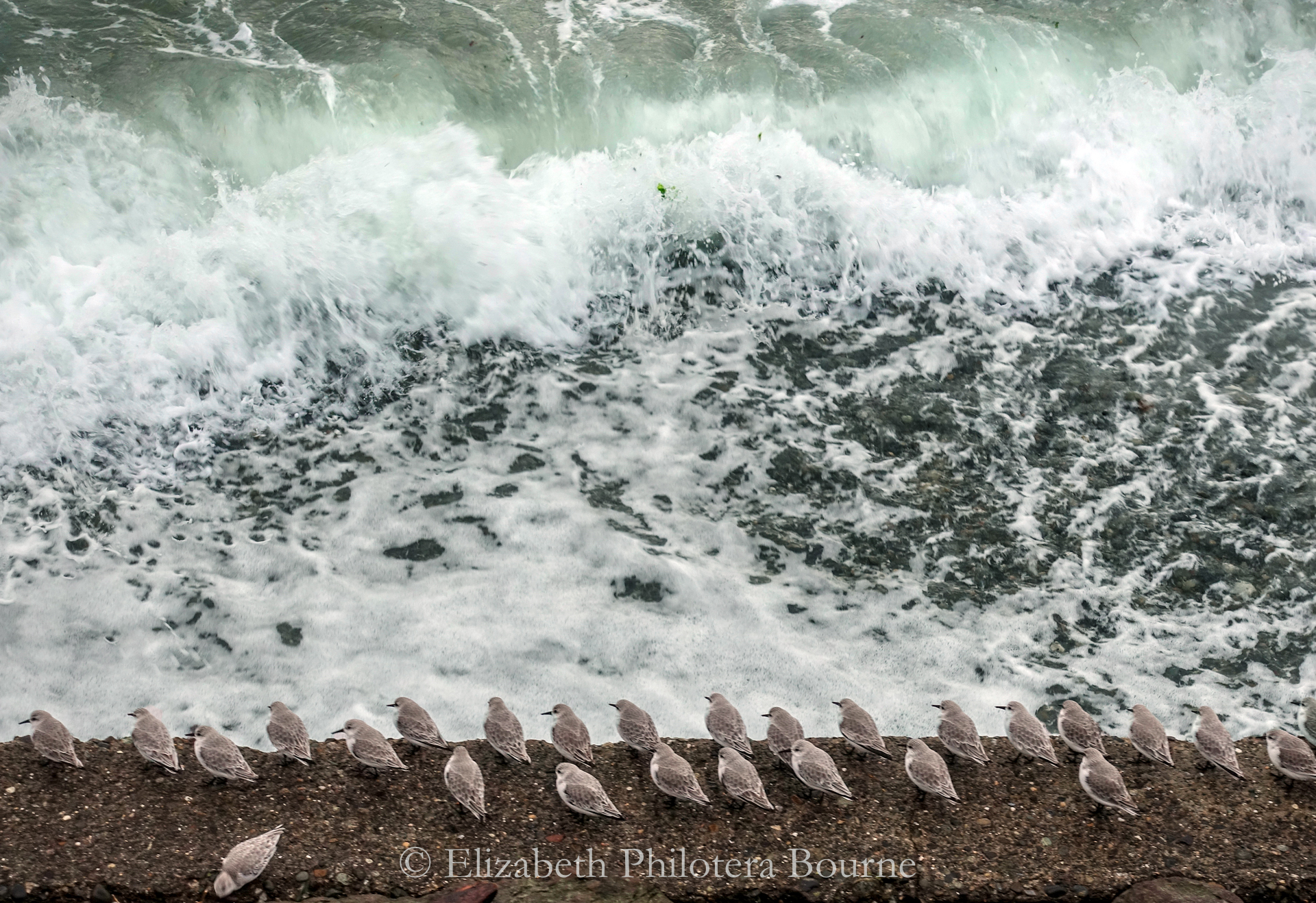 Row of sandpiper on sea wall during stormy high tide
