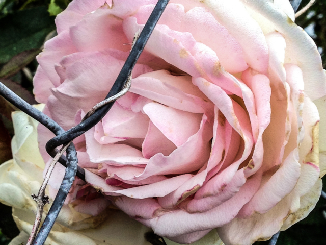 pink rose caught in chain link fence