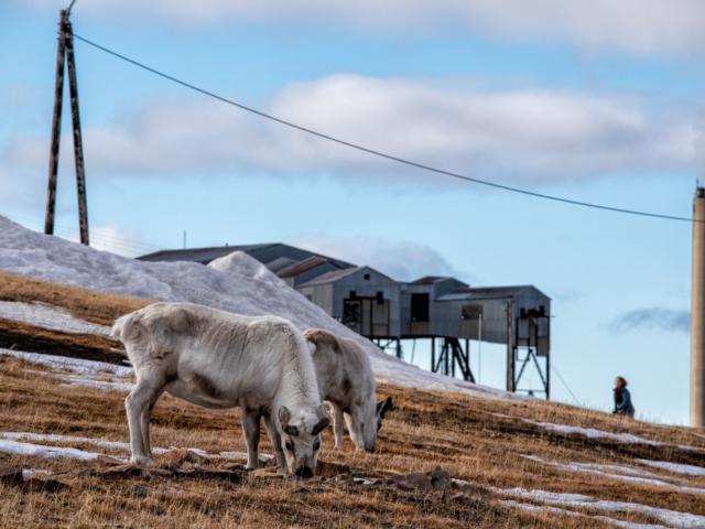 Two arctic reindeer graze fearlessly in along a road in Longyearbyen Svalbard